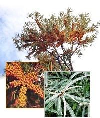 sanddornpflanzen hippophae rhamnoides 8x hergo weiblich. Black Bedroom Furniture Sets. Home Design Ideas